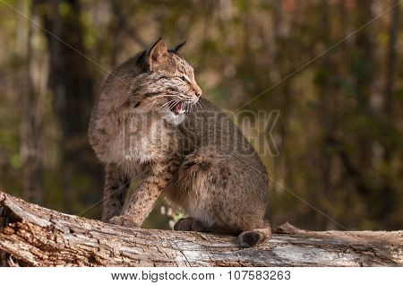 Bobcat (lynx Rufus) Looks Right With Open Mouth