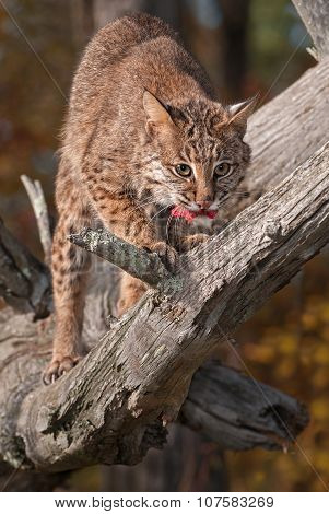 Bobcat (lynx Rufus) With Meat Snack