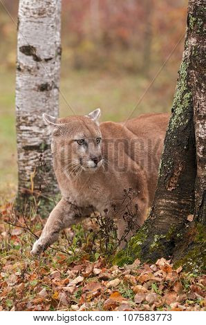 Adult Male Cougar (puma Concolor) Creeps Around Tree