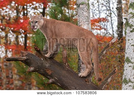 Adult Male Cougar (puma Concolor) Licks Nose