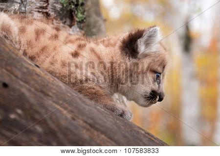 Female Cougar Kitten (puma Concolor) Profile