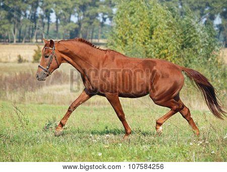 Beautiful chestnut horse trotting