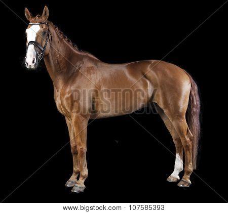 Hanoverian Chestnut Horse