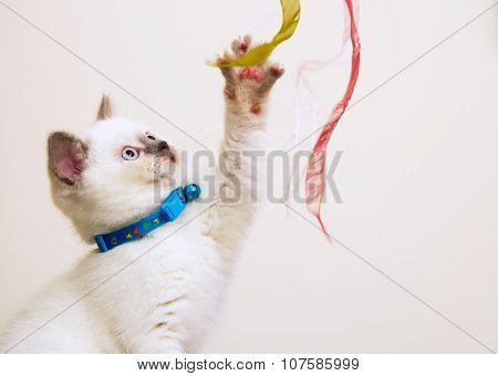 White And Brown British Shorthair Kitten Playing With Ribbons