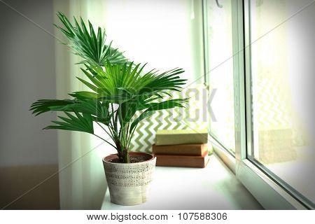 Palm tree (Livistona Rotundifolia) in flowerpot on windowsill at home