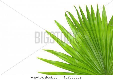 Palm  leaf (Livistona Rotundifolia palm), isolated on white