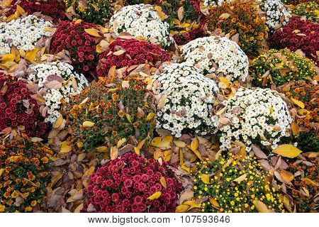 Mums And Leaves