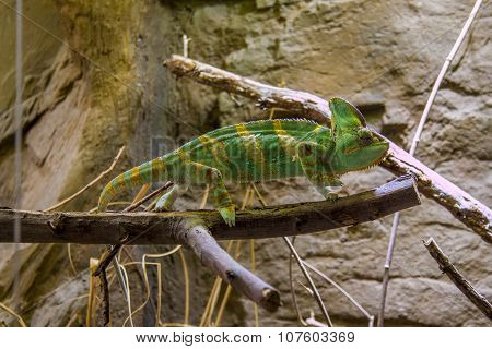 Chameleon looking backward. Chameleon stood.