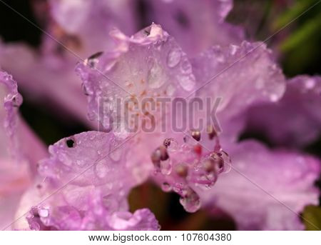 The Waterdrops On The Rhododendron Flower