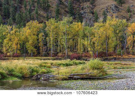 Row of yellow trees.