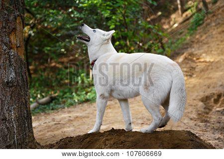 Alert White Siberian Husky Dog Outdoors On A Mountain