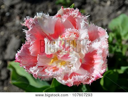 Terry fringed pink tulip