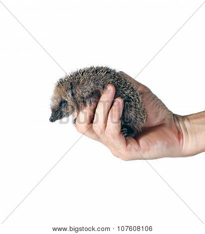 Forest Wild Hedgehog On The Palm Isolated