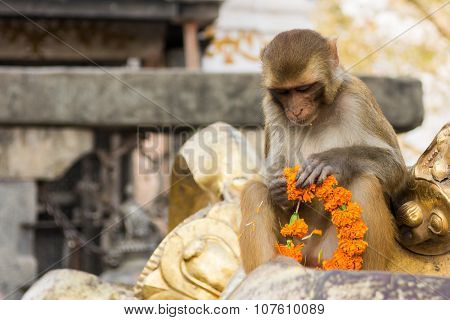 Monkey playing with religious offering.