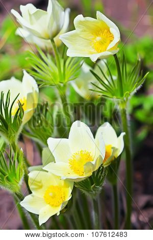 The pasqueflower or the dream herb (Pulsatilla)
