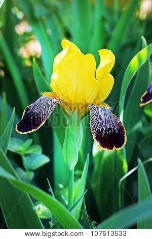 Nibelungen Bearded Iris (Iris Nibelungen)