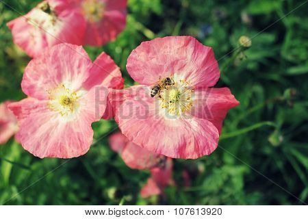 Bee assembling honey of poppies