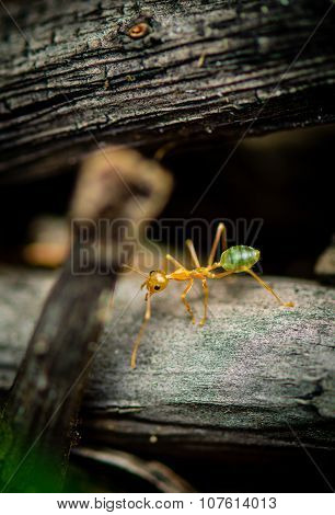 Green tree ant, also known as a green ant on the floor of the forest. walking across the frame all t
