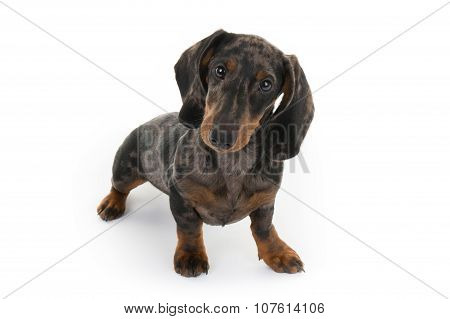 Nice Dog Isolated On White