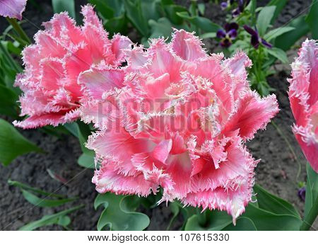 Pink tulip fringed with white ragged edges