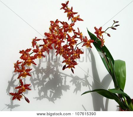 Branch of Marsala red orchids