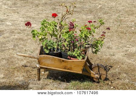 Churchyard  with grass and  pelargonium flower in original flowerpot - wooden wheelbarrow, Batkun Mo