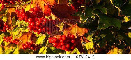 Viburnum berries close