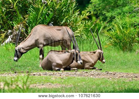 Gemsbok Family On Grass
