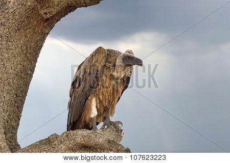 Vulture On Tree. National Park Of Kenya