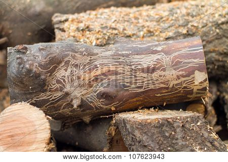 Bark Beetle Log