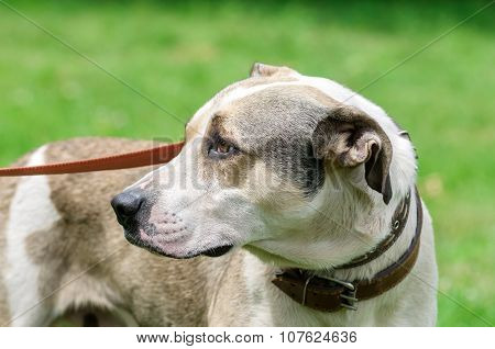 Dog During Walking
