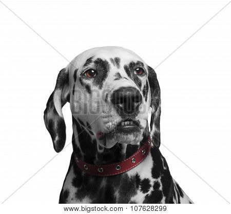 Portrait Of A Black And White Spotted Dalmatian Dog