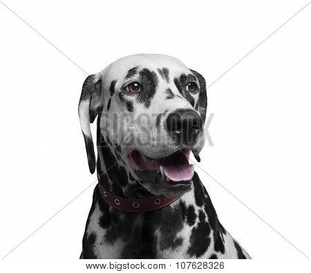 Portrait Of A Happy And Laughing Dog Breed Dalmatian