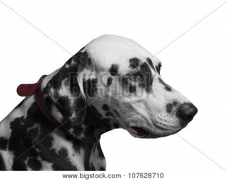 Portrait Of Black And White Dog Breed Dalmatian
