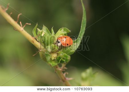 Nine-spotted Lady Beetle (coccinella Novemnotata)