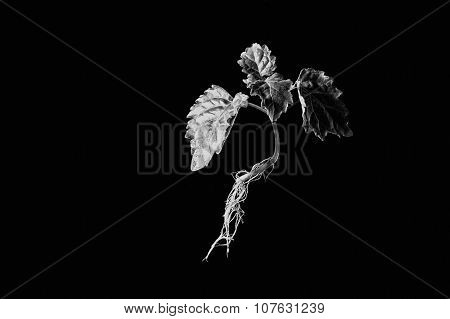Young Patchouli Plant Suspended In Monotone