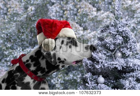 Black And White Spotted Dog Breed Dalmatian In A Santa Claus Hat