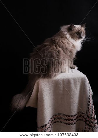 Beautiful Neva Masquerade Cat Portrait