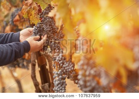 Farmer Inspecting His Wine Grapes In The Afternoon Sun.