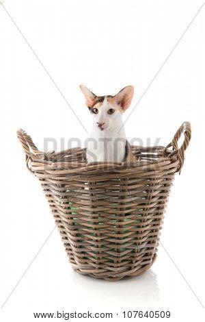 tortoiseshell siamese cat in big basket isolated over white background