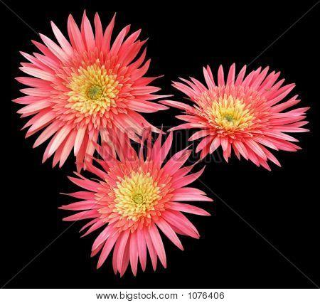 Three Red Gerbera Flowers