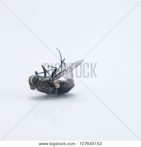 dead house fly on the white background