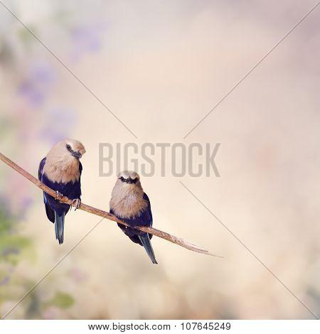 Two Blue Bellied Roller Birds Perching