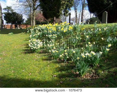 Church Yard Daffodiles