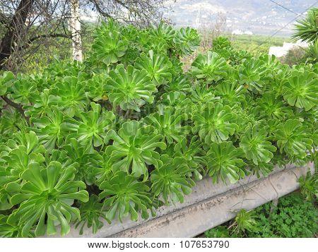 Succulent Aeonium Crassulaceae
