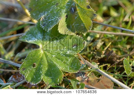 Strawberry Leaves Covered With Hoarfrost