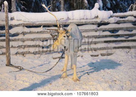 One Horn Reindeer In Ruka In Lapland In Finland