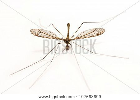 Isolated Mosquito On White