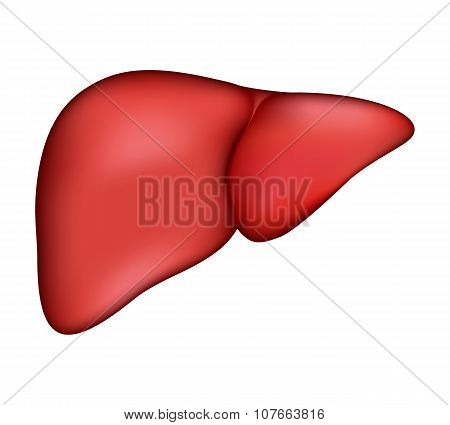 Realistic human liver. Vector medical illustration