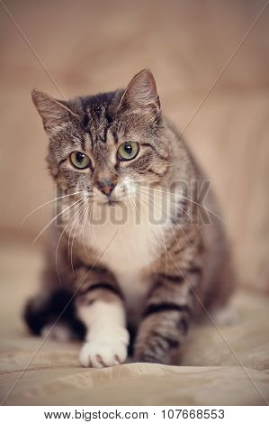 Gray Striped Cat With Green Eyes And A White Paw.